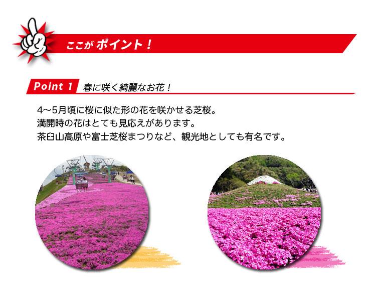 芝桜のポイント